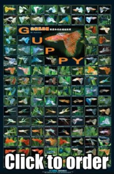 Azoo Aquarium Decor Guppy Poster AZ90134