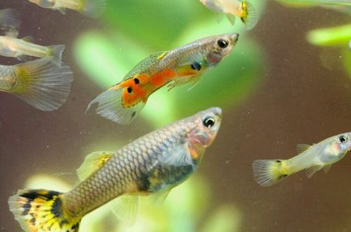 BEAUTIFUL FANCY GUPPIES ONLY 10 FOR $ 10