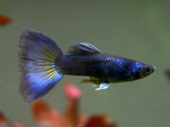 Blue Moscow guppies photo credit InvertObsession
