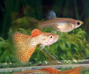 Offering live guppy pairs for sale daily
