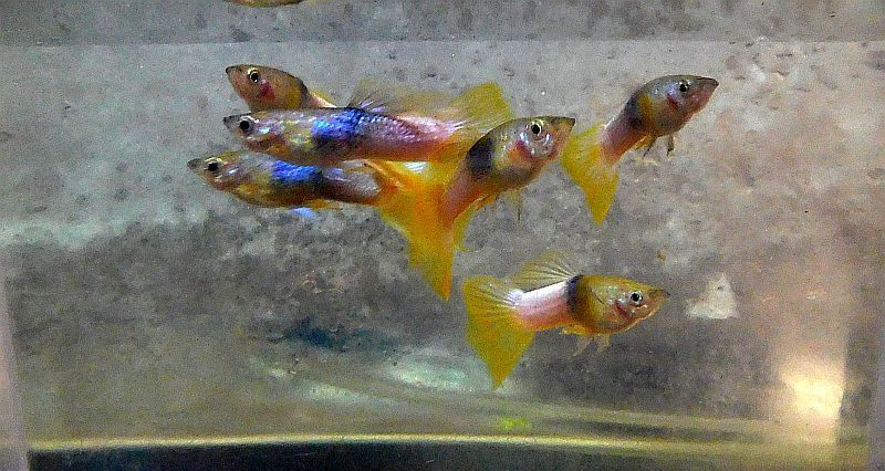 bumblebee guppies