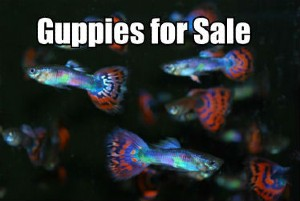 Guppies for Sale Online