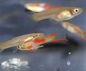 Offering live guppy colony for sale daily