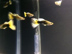 Order Half Black Yellow Guppies with Expedited Shipping