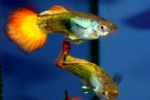 ice flame guppy fish