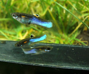 Japan blue guppy for sale