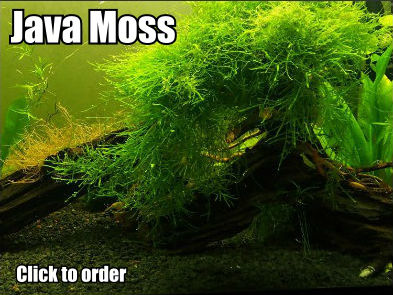 Java moss for guppy fry