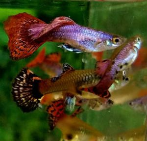 Magenta Guppies are Thailand imports from Jarawee