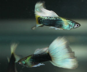Offering live male guppies for sale daily