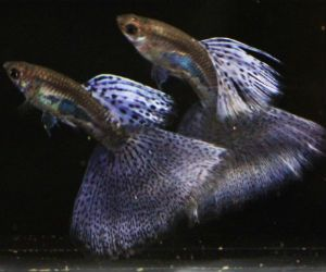 Offering live Purple Guppies for Sale daily