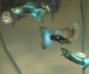 Offering live turquoise guppies for sale daily