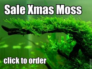Order Xmas moss for Betta fish