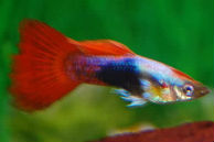 Guppy Fish for Sale